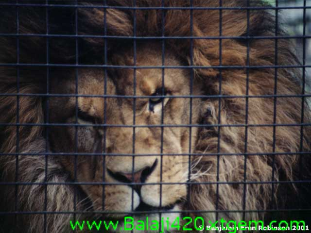 animals lions angry wallpapers Mariamman mp3's Tamil